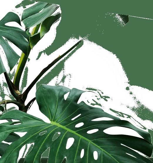maine1 leaf1
